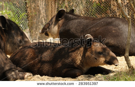 Baird's Tapir Stock Photos, Royalty.