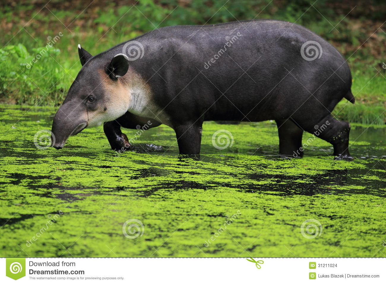 Baird's Tapir Stock Images.