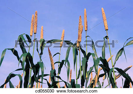 Stock Photography of Bajra (millet). Sakori. Maharashtra. India.