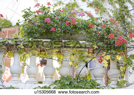 Pictures of Red and pink geraniums in window box on balcony with.