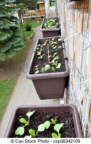 Stock Photography of Radishes planted in plastic box hang on.