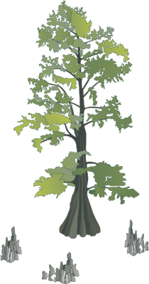 Taxodium distichum (Bald Cypress) with knees Illustration of.