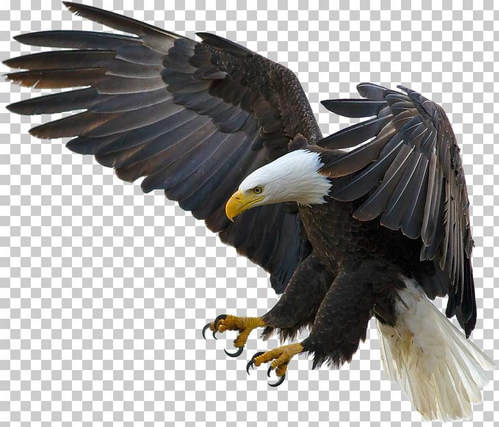 Bald Eagle Bird Desktop High.
