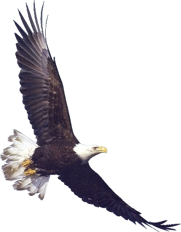 Bald eagle clip art free.