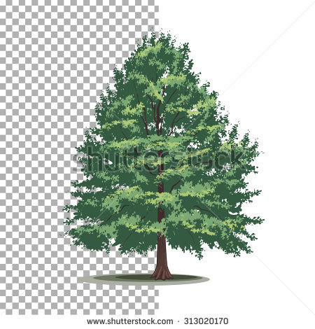 Cypress Tree Stock Images, Royalty.
