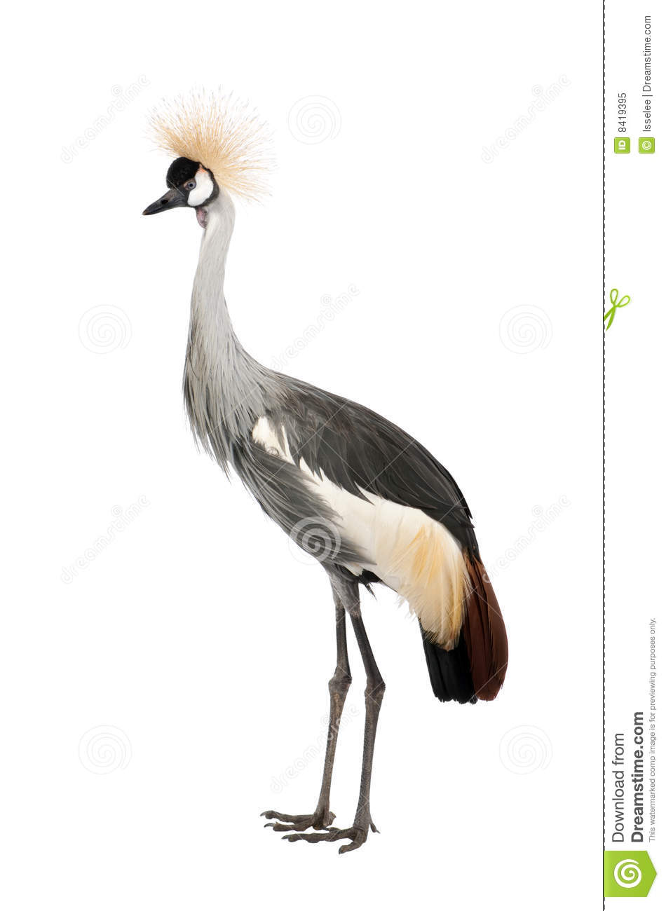 Grey Crowned Crane.