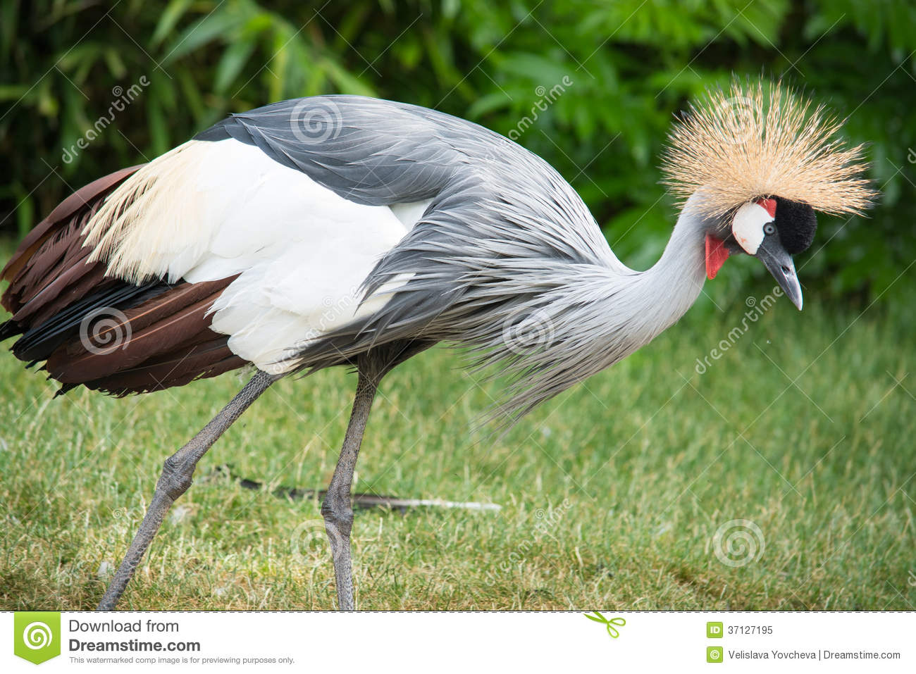 The Grey Crowned Crane (Balearica Regulorum) Is A Bird In The.