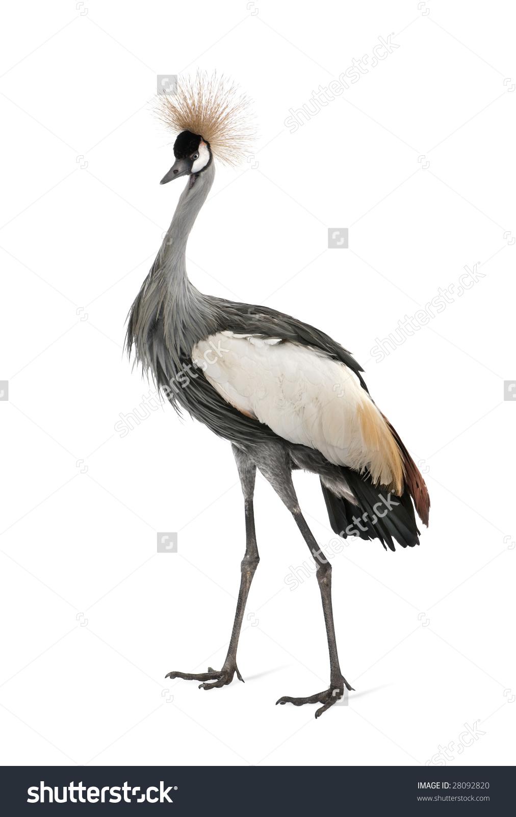 Grey Crowned Crane Balearica Regulorum 18 Stock Photo 28092820.
