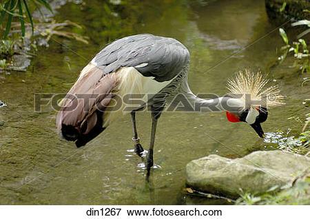 Picture of Crowned crane Balearica Regulorum Bird in Jurong bird.