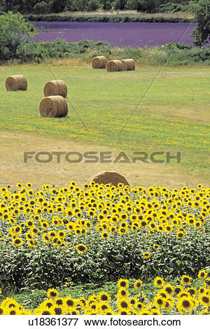 Picture of Rows of Sunflowers Next to Baled Hay u18361377.