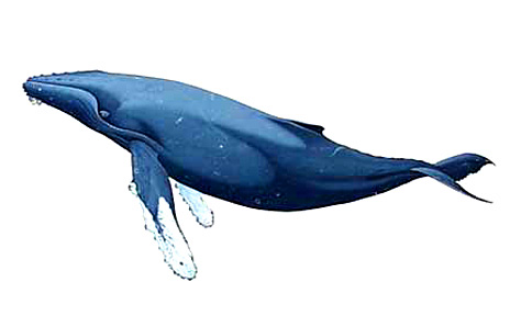 Humpback whale breaching clipart.