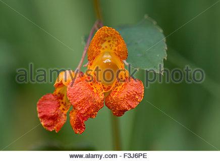 Balsaminaceae Plant Stock Photos & Balsaminaceae Plant Stock.