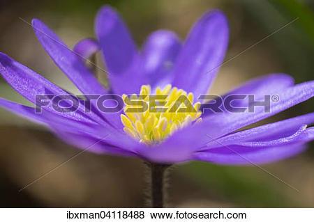 Pictures of Balkan Anemone (Anemone blanda), Bavaria, Germany.