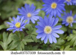 Grecian windflower Stock Photo Images. 33 grecian windflower.
