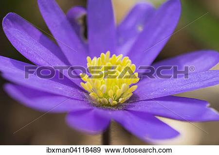 Stock Photograph of Balkan Anemone (Anemone blanda), Bavaria.