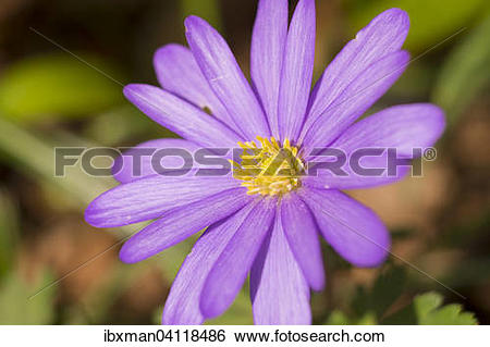 Stock Images of Balkan Anemone (Anemone blanda), Bavaria, Germany.