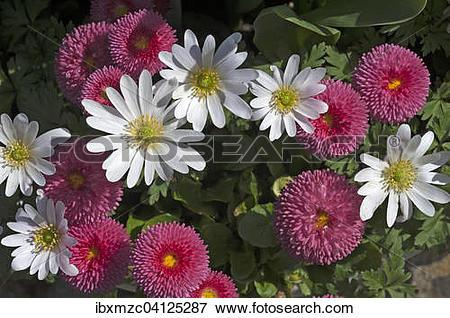 Picture of Balkan anemones (Anemone blanda) and Daisies (Bellis.