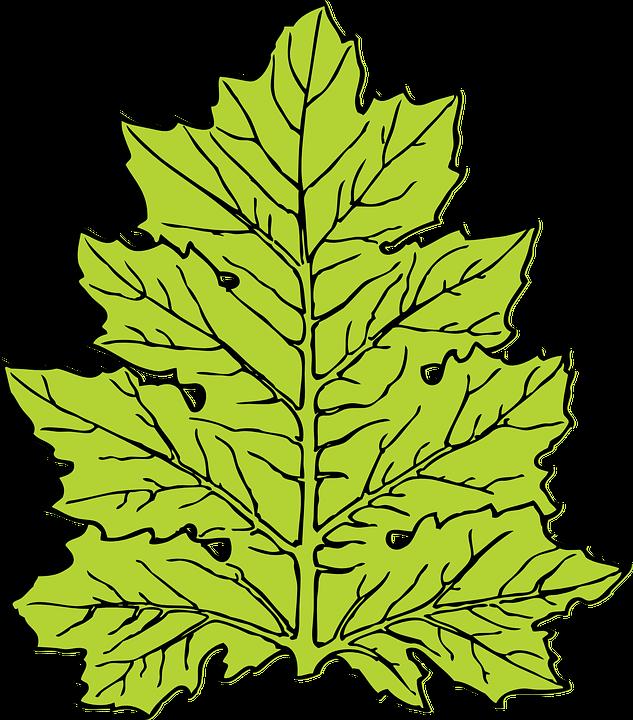 Free vector graphic: Acanthus, Leaf, Nature, Flora.
