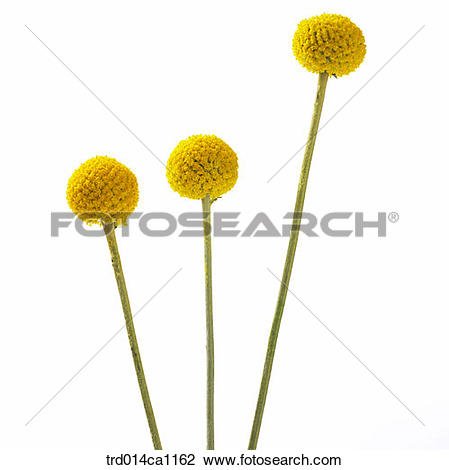 Stock Photo of object, object, flower, yellow, golden ball.