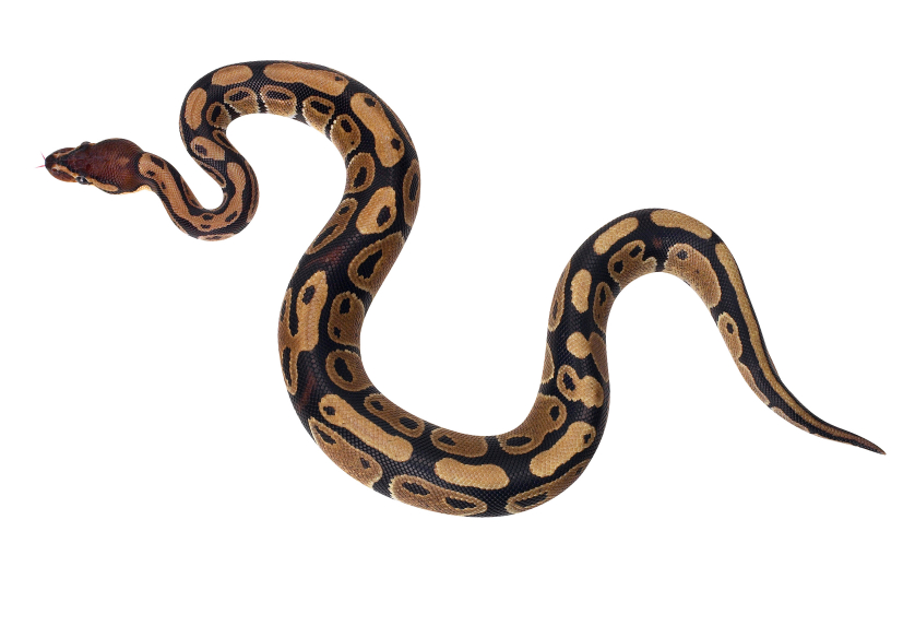 Ball python clipart.