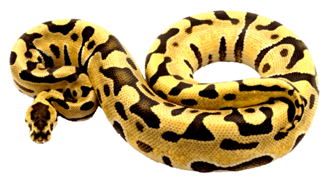 Ball python clipart - Clipground