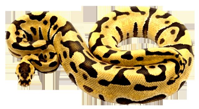 Ball python clipart - Clipground