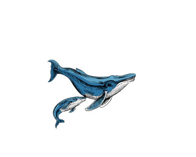 Cetacean Drawing Contest : La majestuosidad de la ballena azul.
