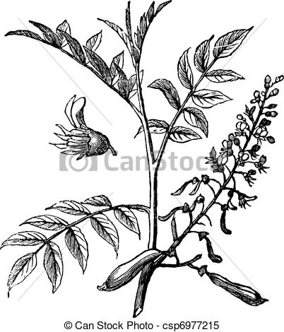 Clipart Vector of Peru Balsam or Myroxylon peruiferum, vintage.