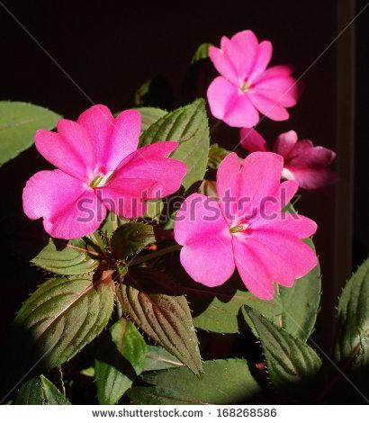 Balsaminaceae Foto, immagini royalty.