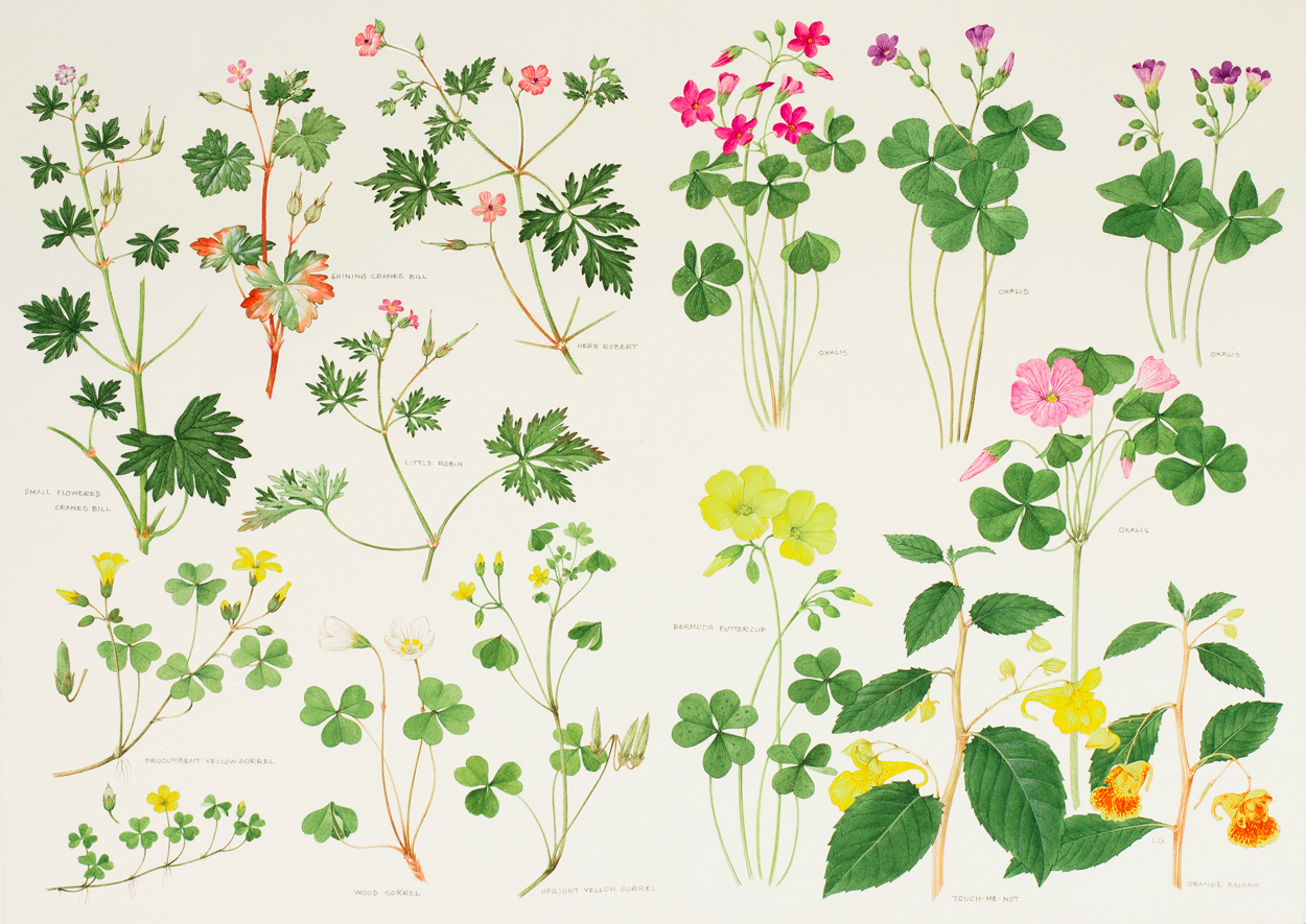 Wild Flowers of the British Isles.