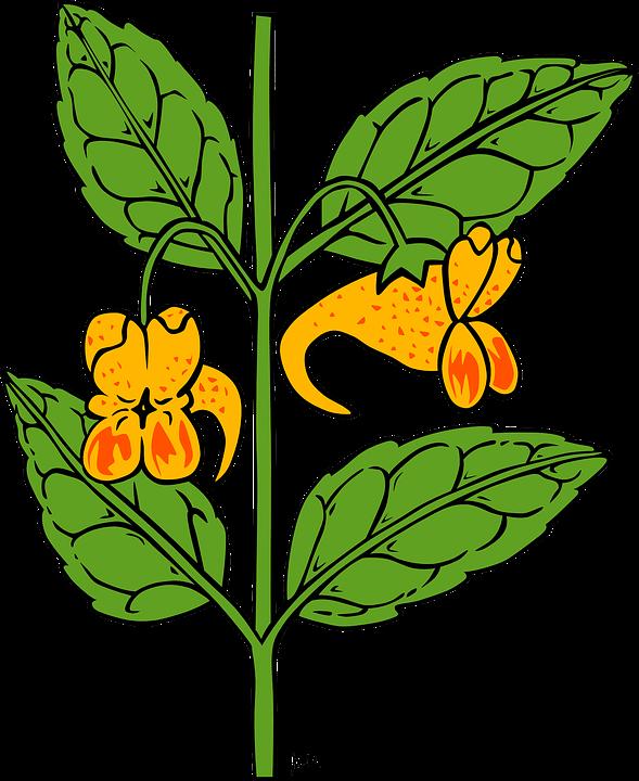 Free vector graphic: Impatiens, Flowers, Plant, Flora.