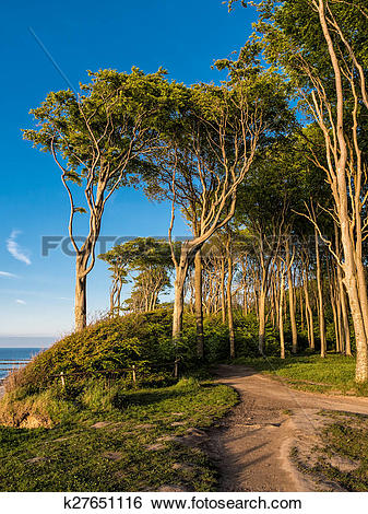 Stock Images of Coastal forest on the Baltic Sea coast k27651116.