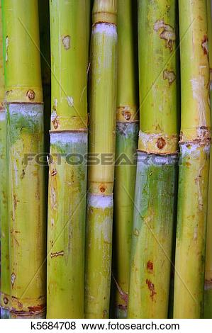 Pictures of bamboo cane food sugar green trunks k5684708.