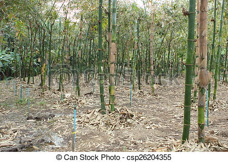 Stock Illustrations of Bamboo tree.