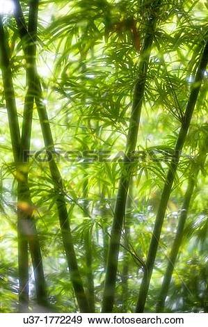 Stock Photograph of Bamboo Garden, Semengoh Wildlife Centre.