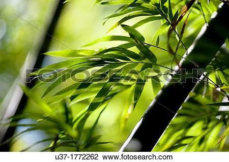 Stock Photo of Bamboo Garden, Semengoh Wildlife Centre, Sarawak.