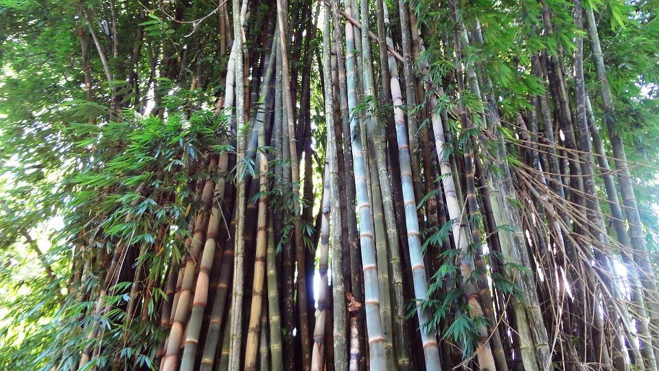 Free photo Bamboo Bamboos Bamboo Grove.