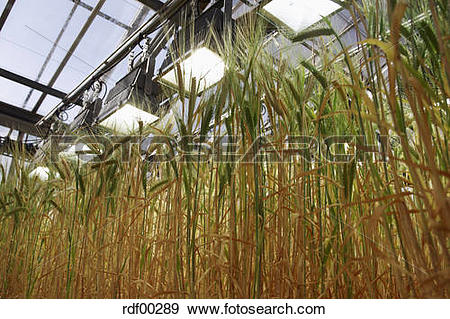 Stock Photograph of Barley (Hordeum vulgare), panicles, close up.