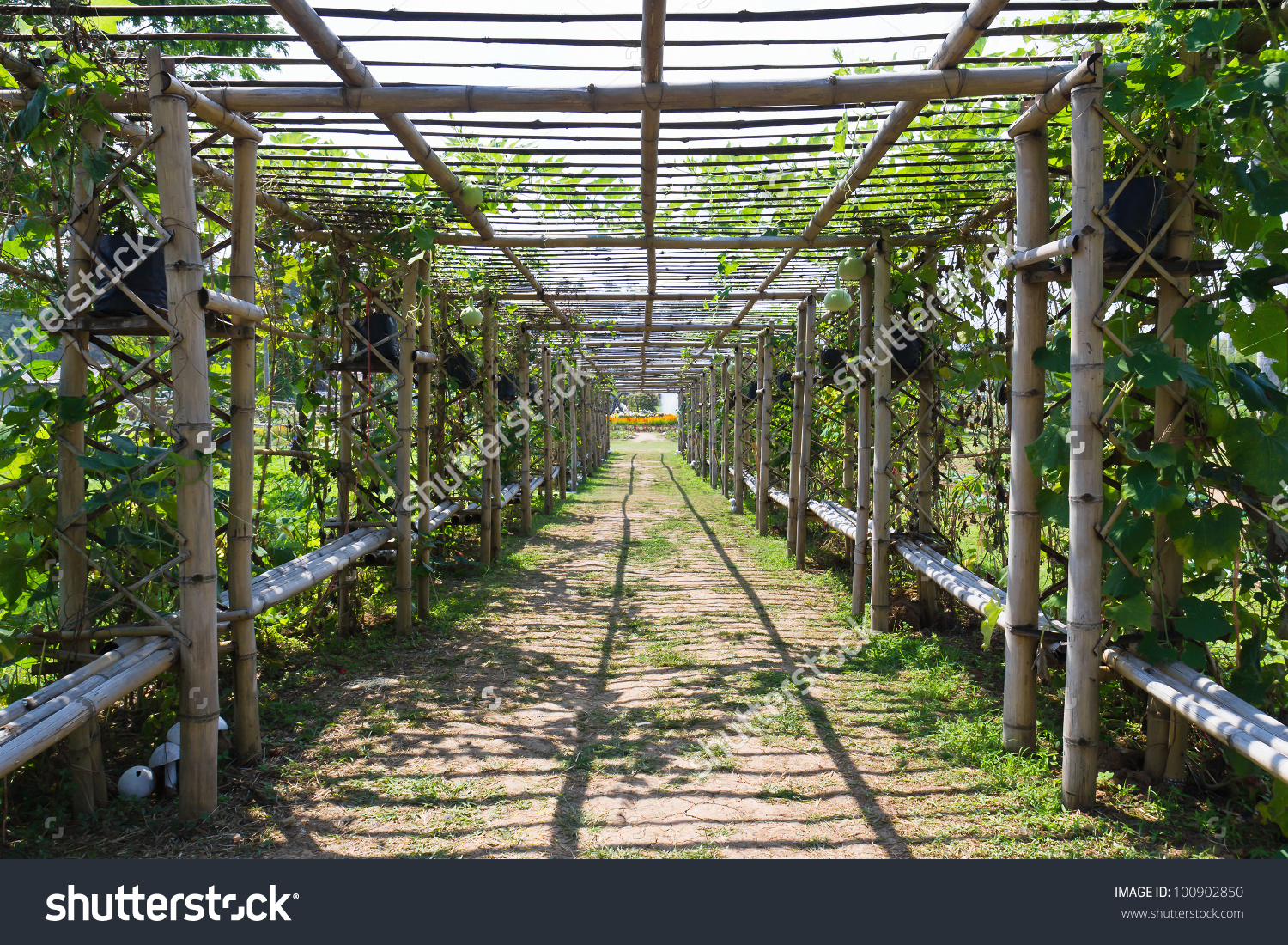 Bamboo Tunnel Garden Covered By Squash Stock Photo 100902850.