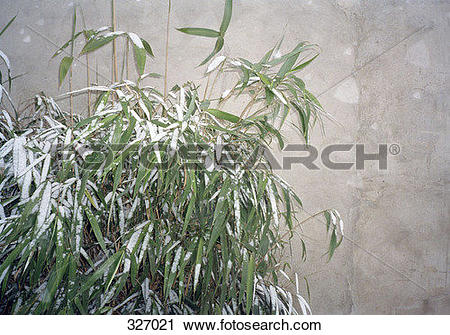 Stock Photography of Bamboo tree covered in snow 327021.