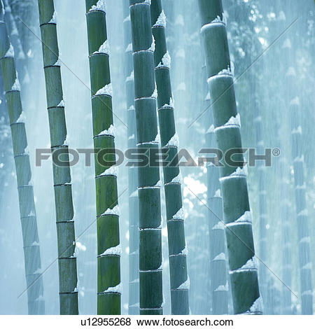 Pictures of Several Bamboo Trees, Covered With Snow, Front View.