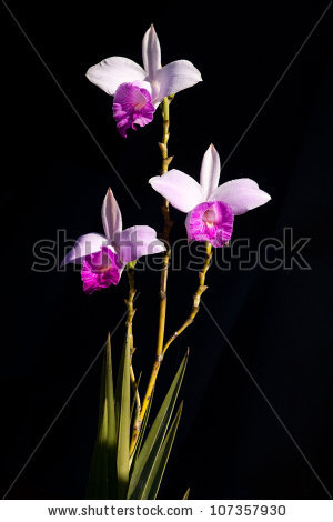 Arundina Bambusifolia, Bamboo Orchid, Is A Ground Orchid, Isolated.