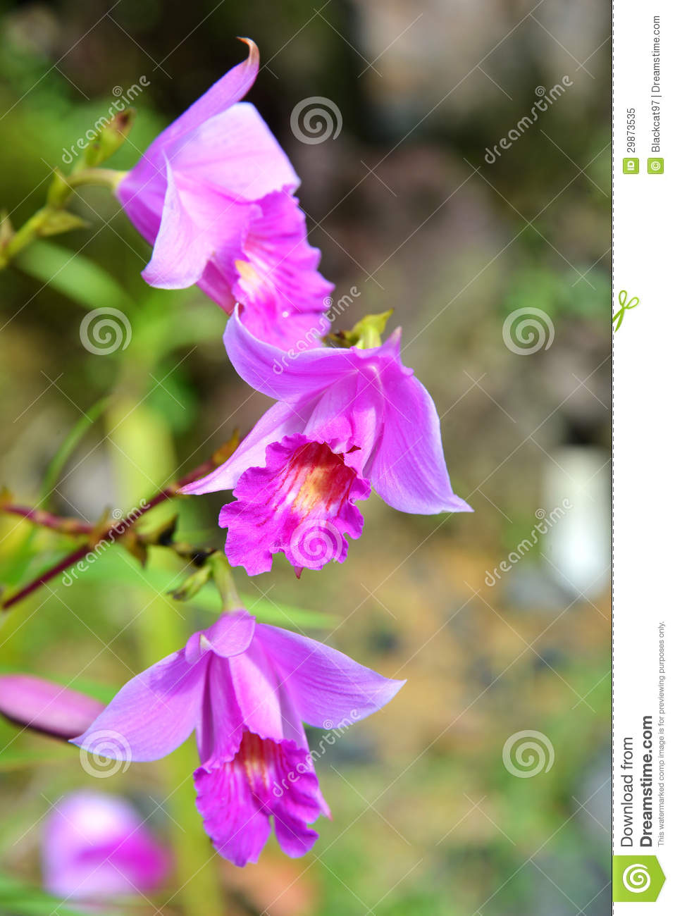 Bamboo Orchid Royalty Free Stock Photo.