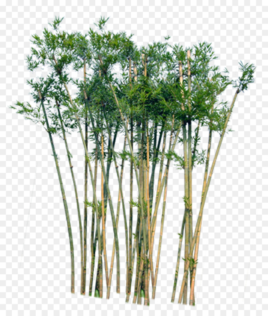 Bamboo Tree Png & Free Bamboo Tree.png Transparent Images #28337.