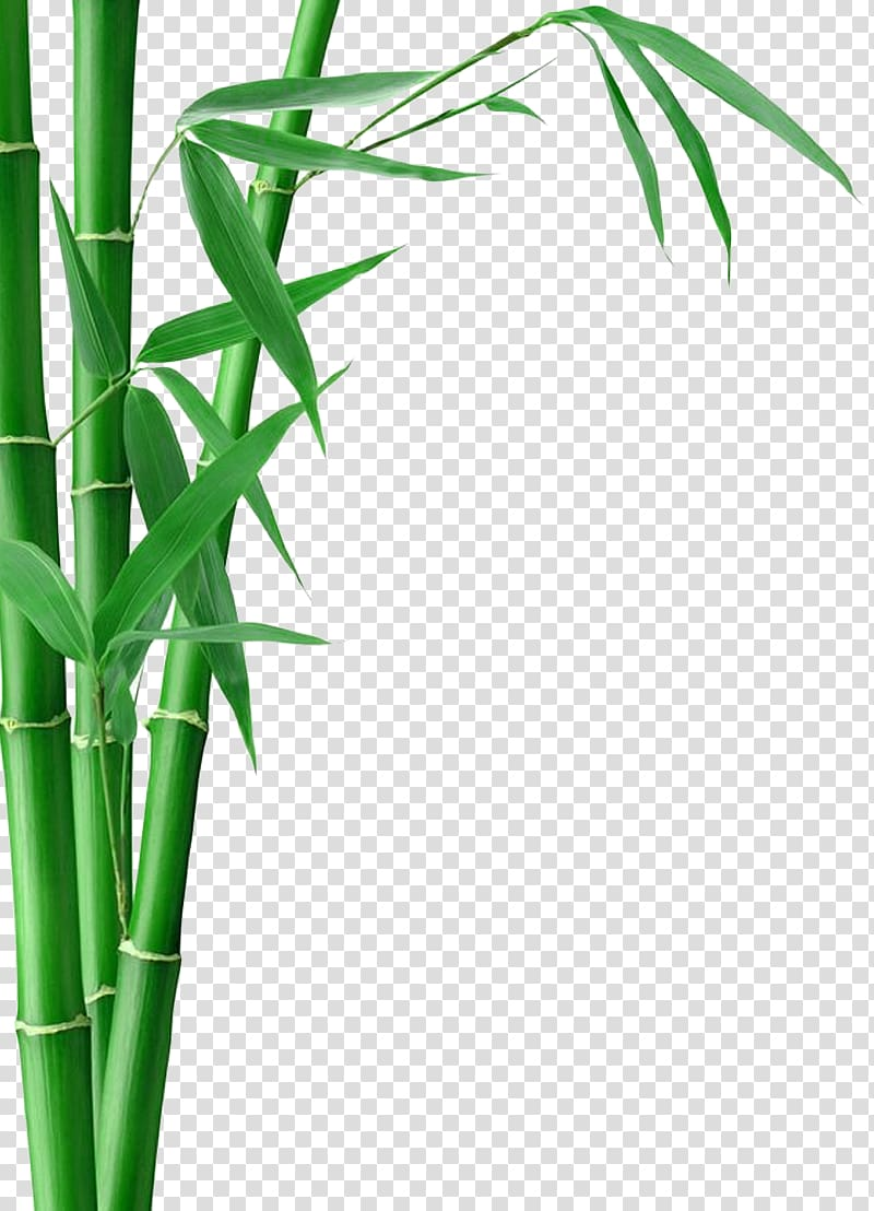 Bamboo tree illustration, Bamboo Forest Fargesia murielae Bamboo.