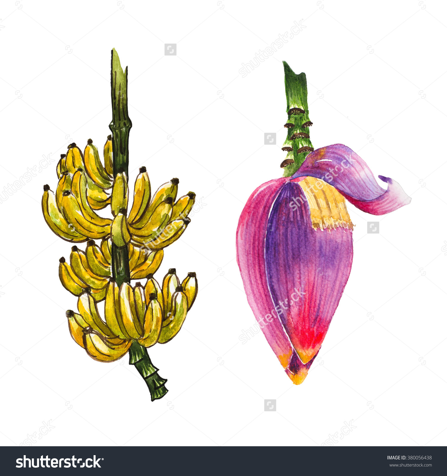 Yellow Banana Fruit Purple Banana Blossom Stock Illustration.
