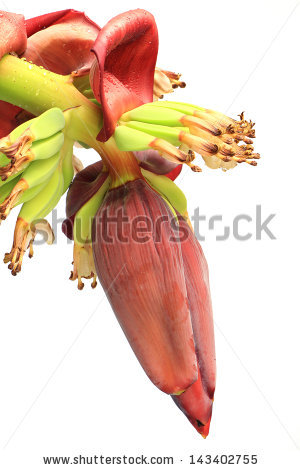 Popular Free Raw Cultivated Banana Photos.