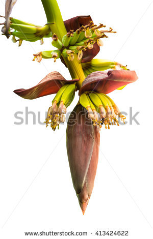 Banana Stalk Stock Photos, Royalty.