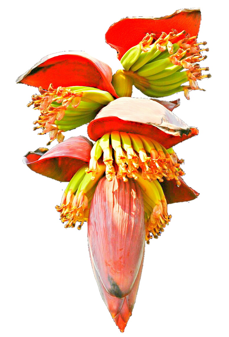 Banana Blossom by jeanicebartzen27 on DeviantArt.