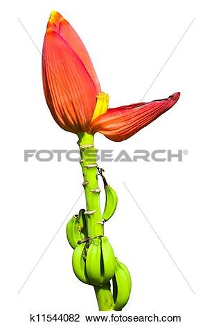Stock Photo of Red banana flower isolated k11544082.